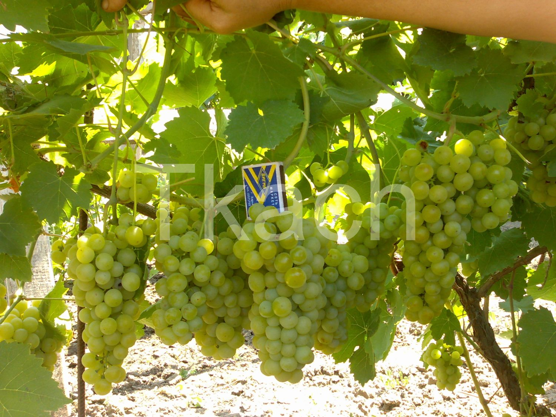 Виноград фрумоаса албэ описание сорта фото