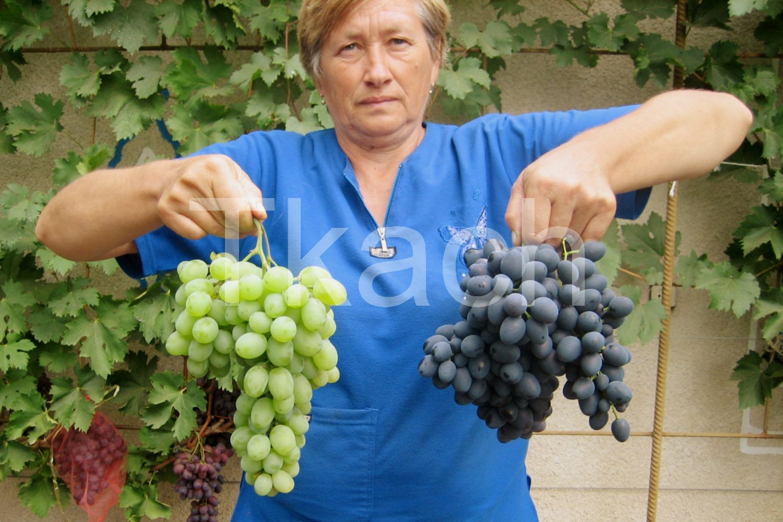 Сорт винограда подарок молдовы фото